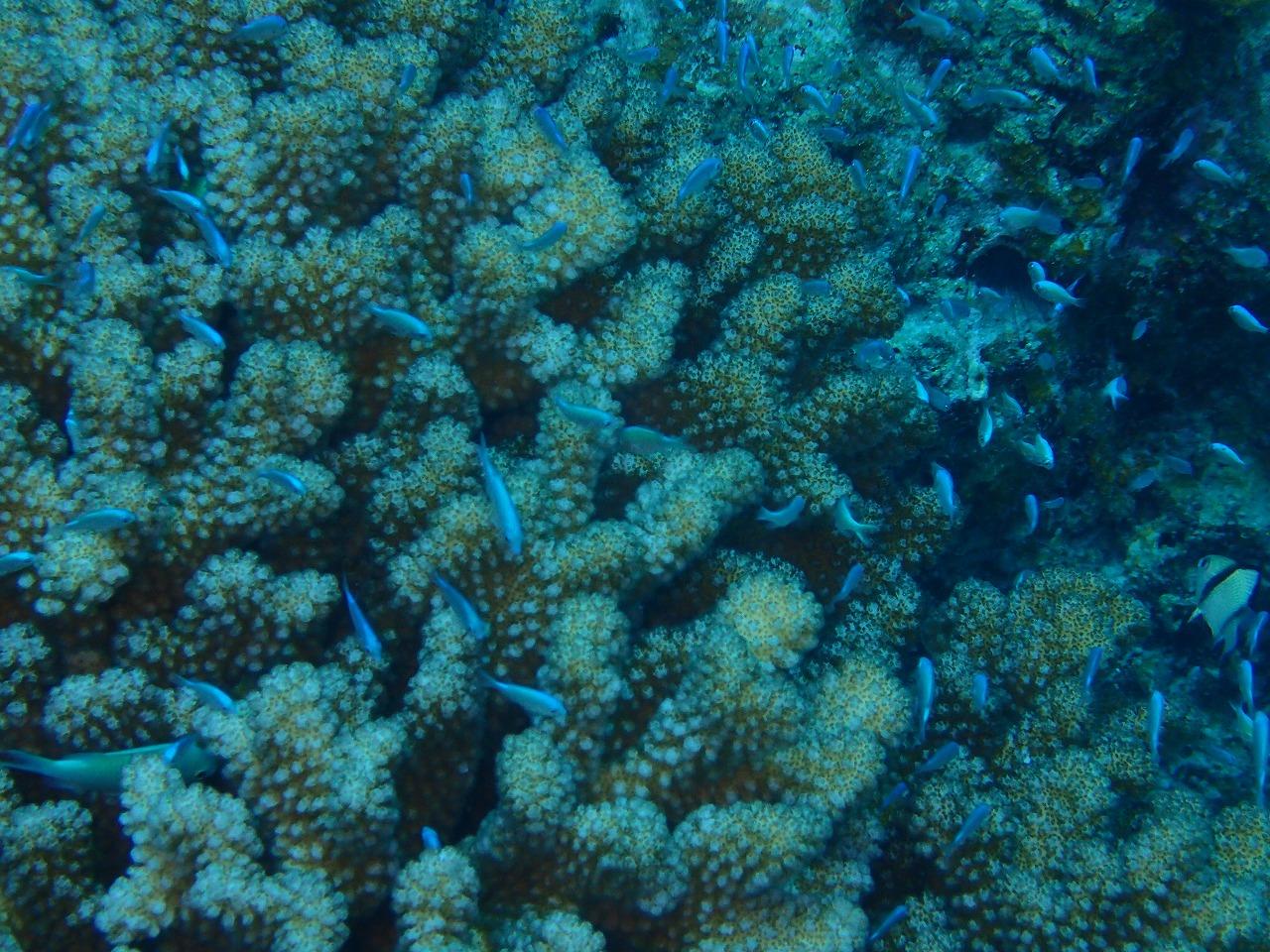 サンゴに隠れるデバスズメダイ