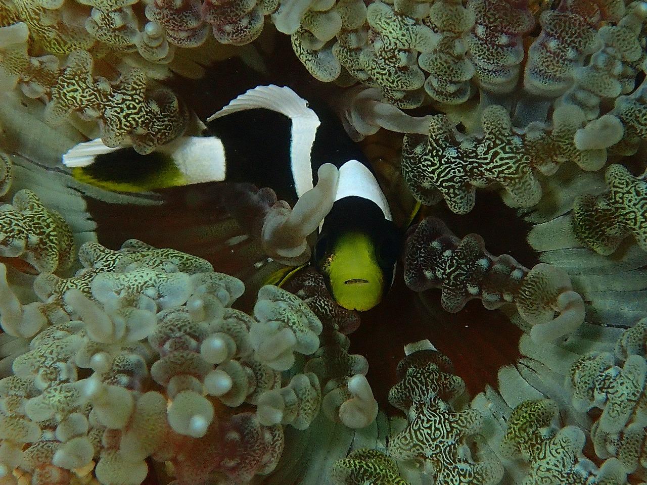 ハマクマノミ(幼魚)